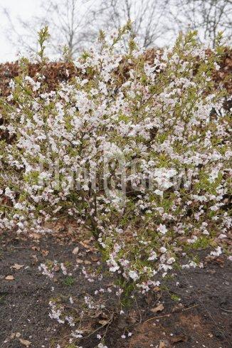 Prunus incisa 'Kojou No Mai' | Dwergsierkers