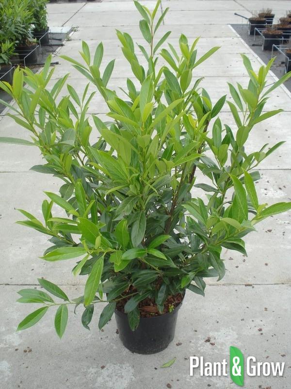 Prunus laurocerasus 'Caucasica' | Laurier (12L pot)