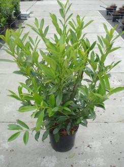 Prunus laurocerasus 'Caucasica' Laurier