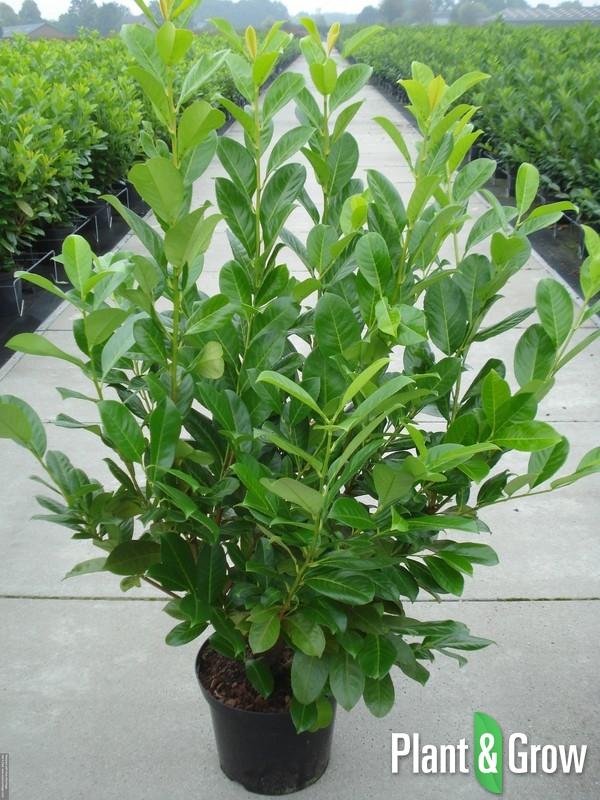 Prunus laurocerasus rotundifolia kopen