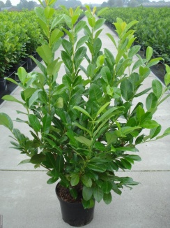 Prunus laurocerasus 'Rotundifolia' | Laurierkers (12L pot)