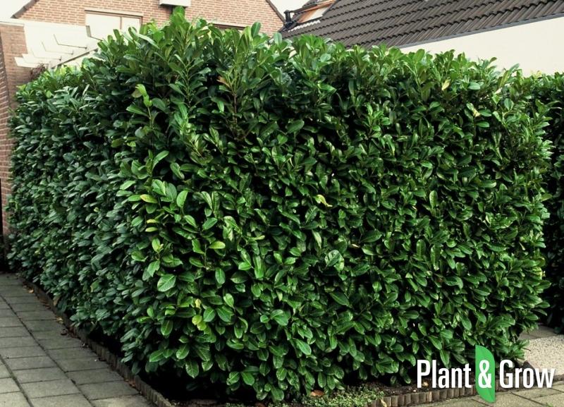 Prunus laurocerasus 'Rotundifolia' | Laurierkers