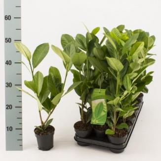 Prunus laurocerasus 'Rotundifolia' | Laurierkers (Ø9,5 cm) 30-40 cm