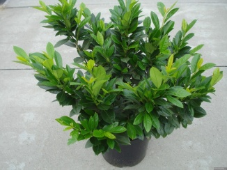 Prunus laurocerasus 'Van Nes' | Laurierkers (12L pot)