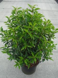 Prunus lusitanica 'Angustifolia' | Portugese laurier (12L pot)