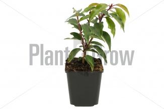 Prunus lusitanica 'Angustifolia' | Portugese laurier (pot 9x9cm) - VOORJAAR