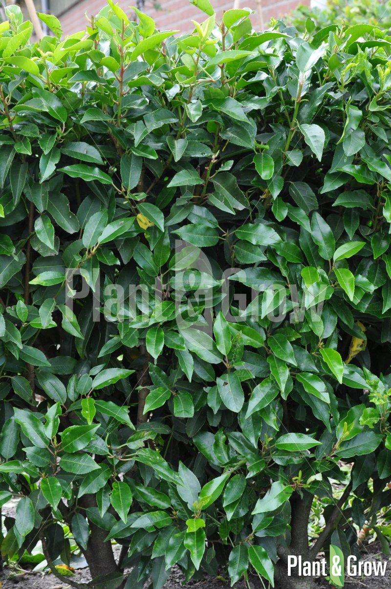 Prunus lusitanica 'Angustifolia' | Portugese laurier