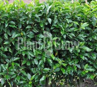 Prunus lusitanica 'Angustifolia' Portugese laurier