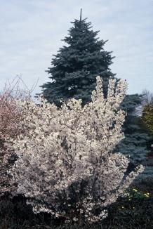 Prunus nipponica 'Brillant' | Sierkers