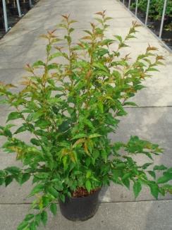 Prunus nipponica 'Brillant' | Sierkers (12L pot)