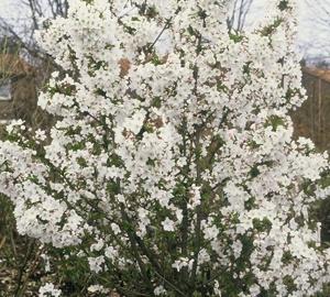 Prunus nipponica 'Brillant' Sierkers