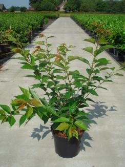 Prunus serrulata 'Kanzan' | Japanse sierkers (12L pot)