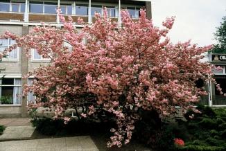 Prunus serrulata 'Kanzan' | Japanse sierkers als meerstammige struik