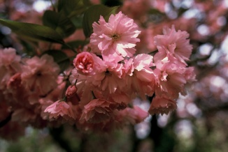 Prunus serrulata 'Kanzan' | Japanse sierkers bloem