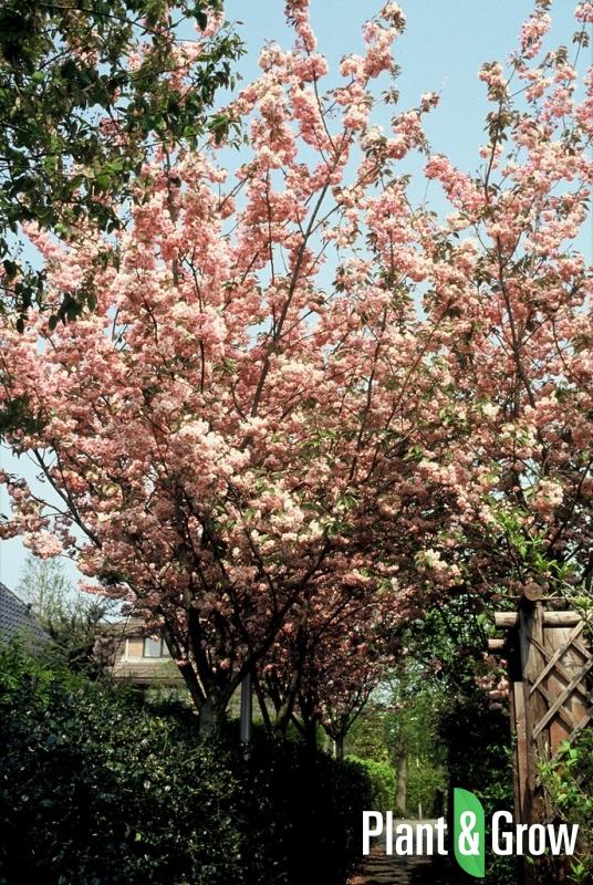 Prunus serrulata 'Kanzan' | Japanse sierkers als boom