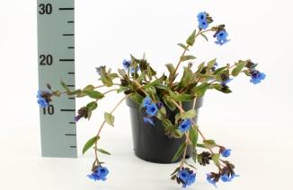 Pulmonaria angustifolia 'Blue Ensign' | Longkruid (Ø 17cm pot)