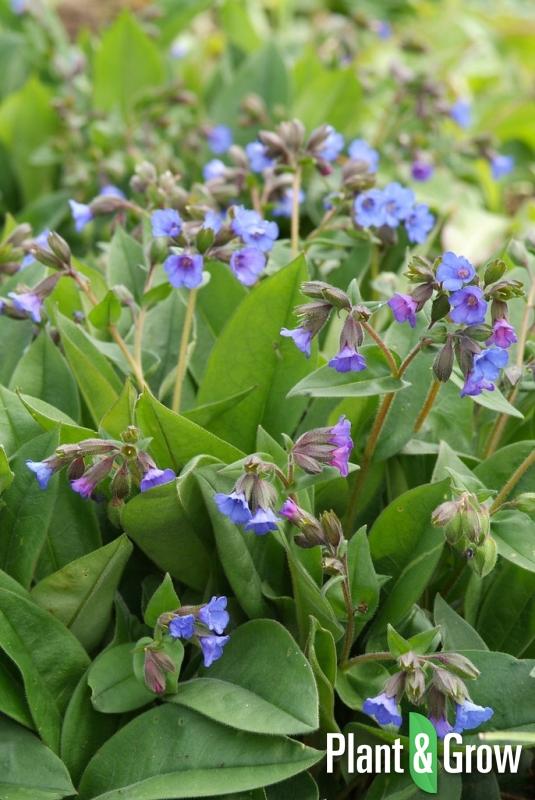 Pulmonaria angustifolia 'Blue Ensign' | Longkruid