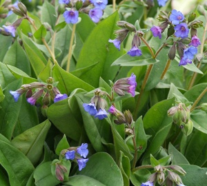 Pulmonaria angustifolia 'Blue Ensign' Longkruid