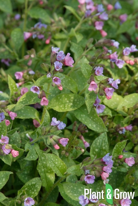 Pulmonaria saccharata 'Mrs. Moon' | Longkruid