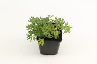 Pulsatilla vulgaris 'Alba' | Wildemanskruid (pot 9x9cm)