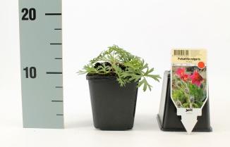 Pulsatilla vulgaris 'Rubra' | Wildemanskruid (pot 9x9cm)