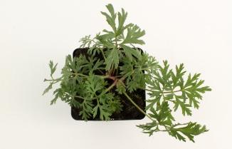 Pulsatilla vulgaris | Wildemanskruid (pot 9x9cm)