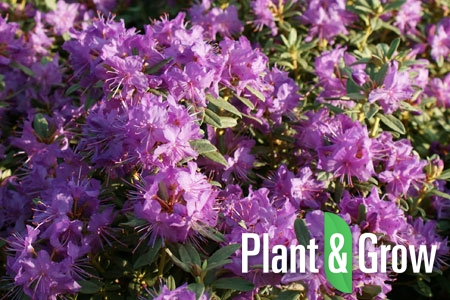 Rhododendron 'Blue Silver' | Rhododendron