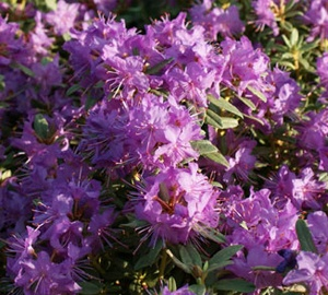Rhododendron 'Blue Silver' Rhododendron