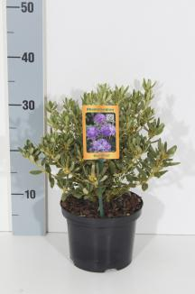 Rhododendron 'Blue Silver' | Rhododendron (Ø 17cm pot)