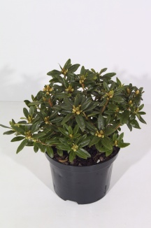 Rhododendron 'Blue Tit' | Rhododendron (Ø 17cm pot)