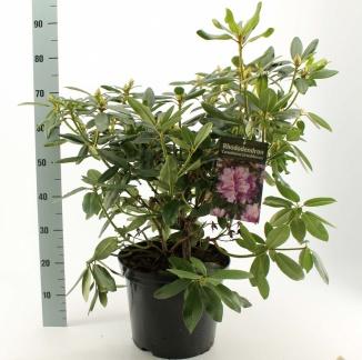 Rhododendron 'Catawbiense grandiflorum' | Rhododendron (12L pot)
