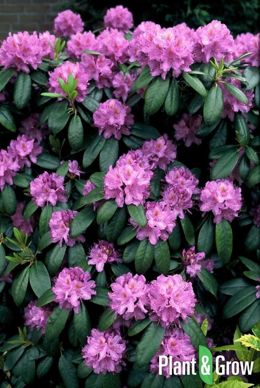 Rhododendron 'Catawbiense grandiflorum' | Rhododendron