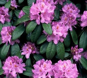 Rhododendron 'Catawbiense grandiflorum' Rhododendron
