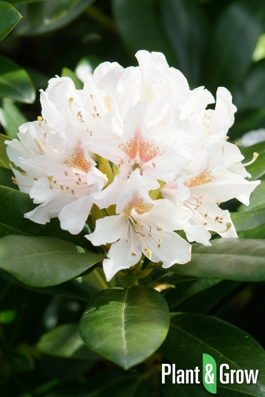 Rhododendron 'Cunningham's White' | Rhododendron