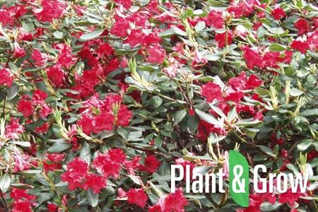Rhododendron (F) 'Baden-Baden' | Rhododendron