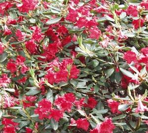 Rhododendron (F) 'Baden-Baden' Rhododendron