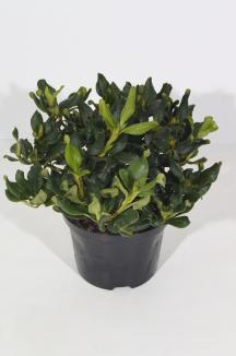 Rhododendron (F) 'Baden-Baden' | Rhododendron (Ø 17cm pot)