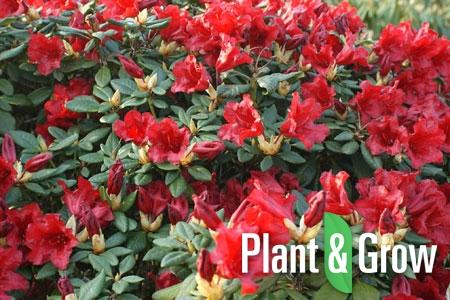 Rhododendron (F) 'Scarlet Wonder' | Rhododendron
