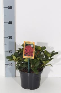 Rhododendron (F) 'Scarlet Wonder' | Rhododendron (Ø 17cm pot)