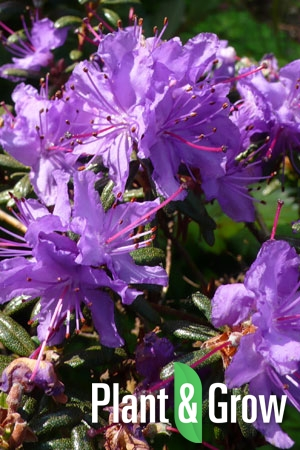 Rhododendron impeditum | Rhododendron