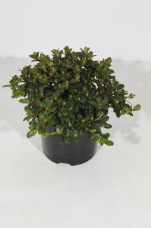 Rhododendron impeditum 'Wren' | Rhododendron (Ø 17cm pot)