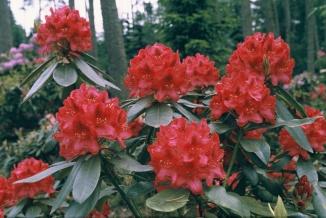 Rhododendron 'Nova Zembla' | Rhododendron