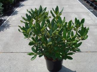 Rhododendron 'Nova Zembla' | Rhododendron (12L pot)
