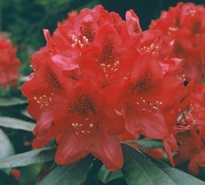 Rhododendron 'Nova Zembla' Rhododendron