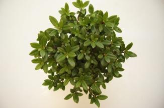 Rhododendron 'Princess Anne' | Dwergrhododendron (Ø 17cm pot)