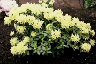 Rhododendron 'Princess Anne' | Dwergrhododendron