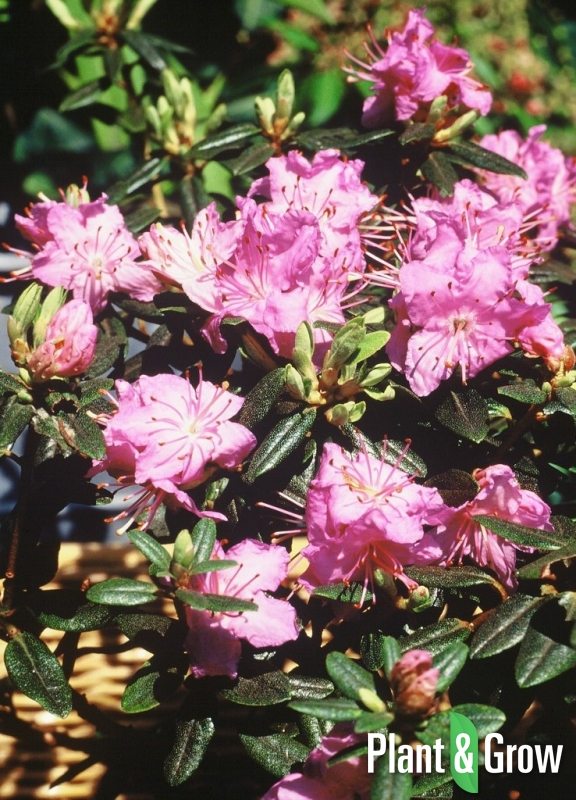 Rhododendron 'Ramapo' | Dwergrhododendron
