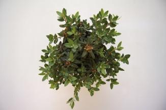 Rhododendron 'Ramapo' | Dwergrhododendron (Ø 17cm pot)