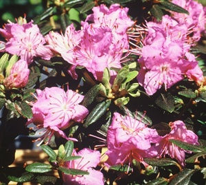 Rhododendron 'Ramapo' Dwergrhododendron