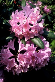 Rhododendron 'Roseum Elegans' | Rhododendron
